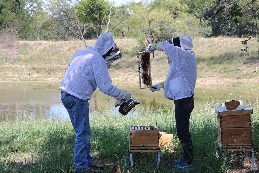 Two people checking on the bees in apiary