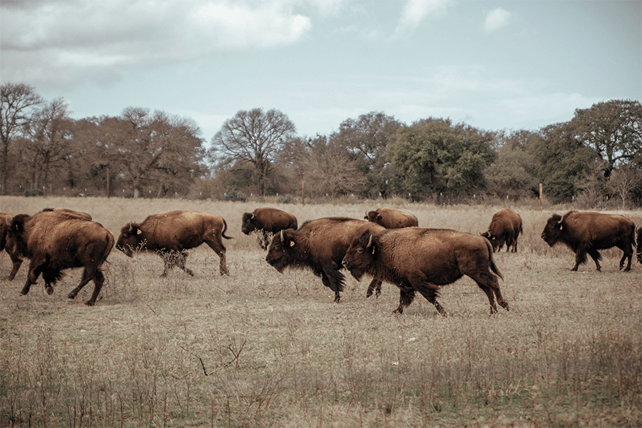 Bison roaming freely on an open field