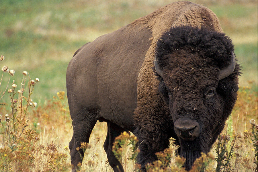 Brown bison on grassland