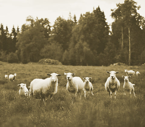 A flock of lamb standing on a pasture