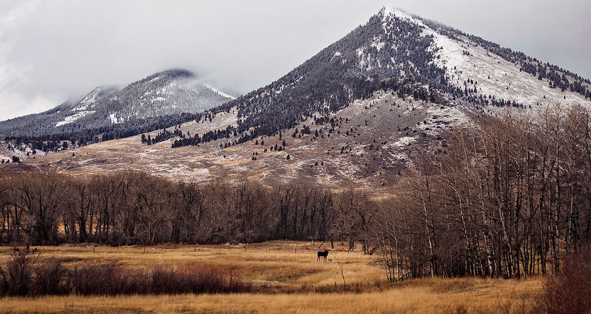 A moose stands in a field in Montana. A snowy mountain range shows behind it.