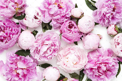 Pink Peonies Collection #08