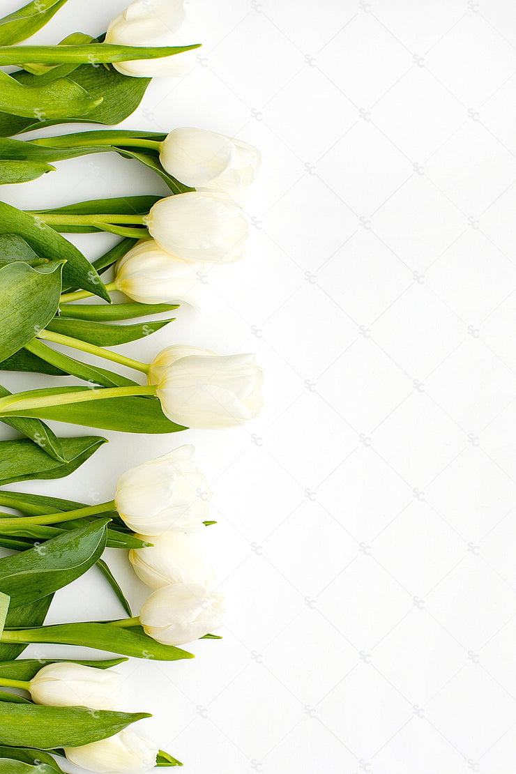 This image contains beautiful white tulips on a bright white background.