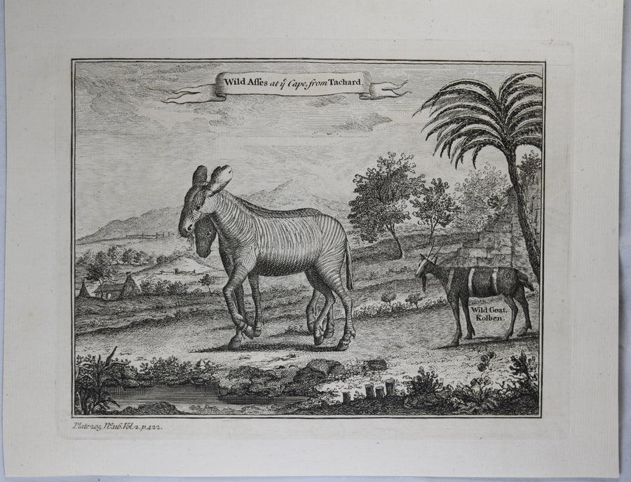 1745 engraving Wild Zebras at Cape of Good Hope (Africa)