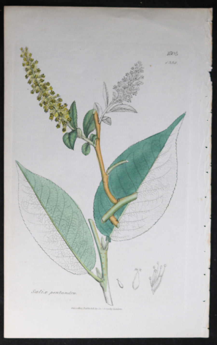 @1807 Sowerby botanical print Laurel Willow