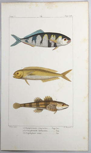 @1819 French Prêtre fish print with 3  species (Coryphaenoides..)