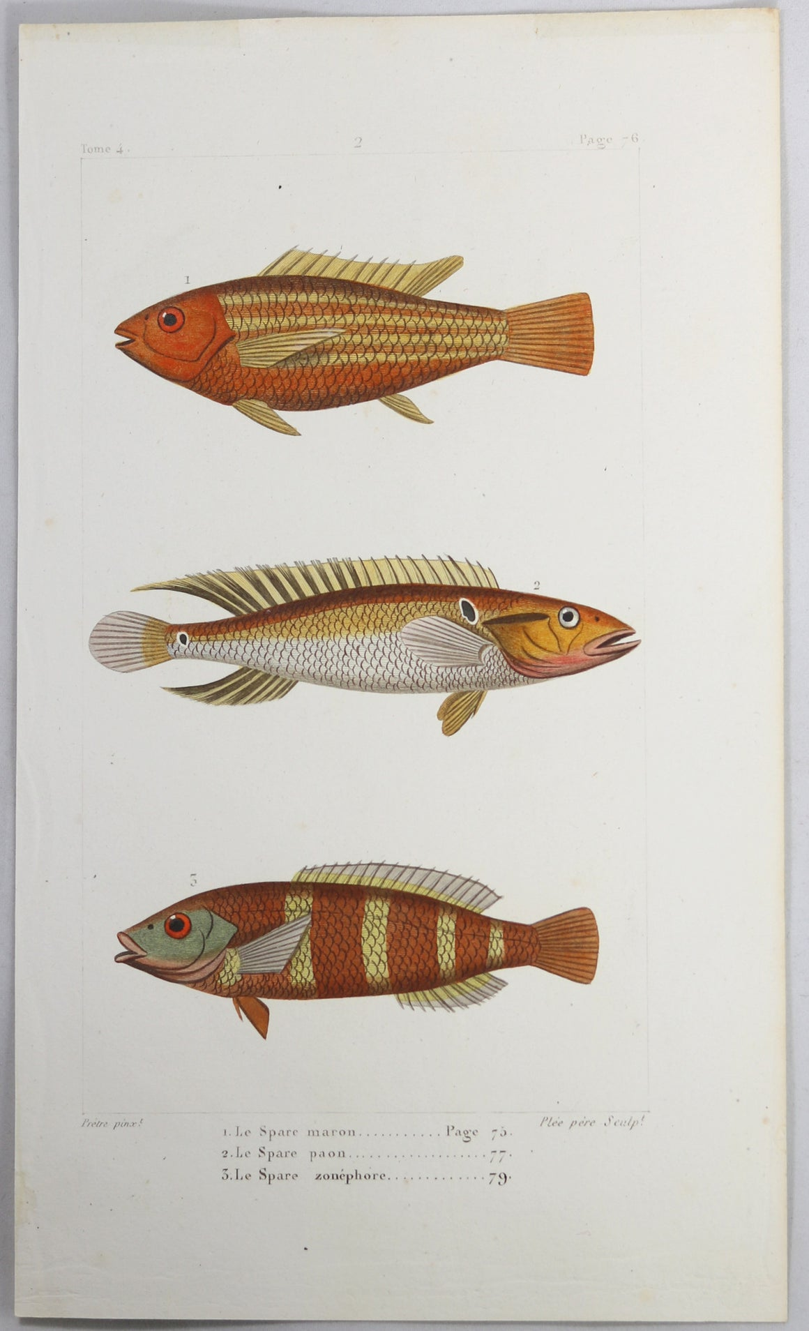 @1819 French Prêtre fish print with 3 species bream