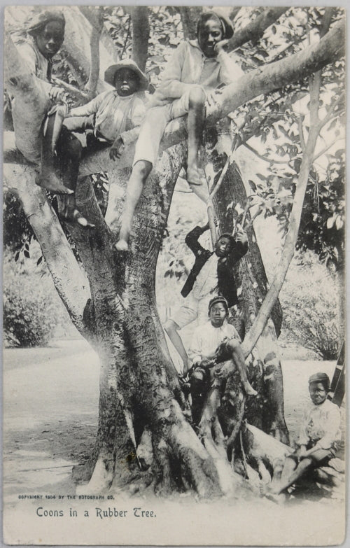 1904 Black Americana postcard 'Coons in a Rubber tree'