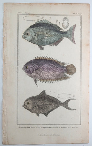 Engraving of three fish from Cuvier's 'Animal Kingdom (1834-7) #13