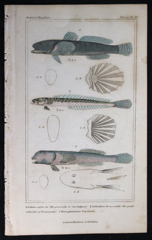 Engraving of three fish from Cuvier's 'Animal Kingdom (1834-7) #2