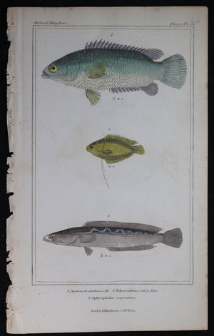 Engraving of three fish from Cuvier's 'Animal Kingdom (1834-7) #4