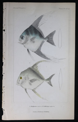 Engraving of two fish from Cuvier's 'Animal Kingdom (1834-7) #5
