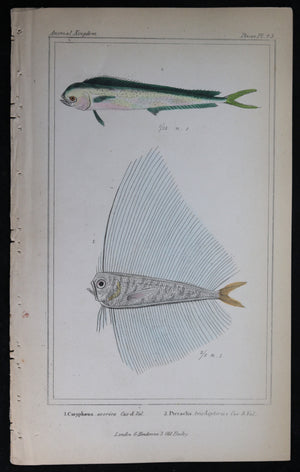 Engraving of two fish from Cuvier's 'Animal Kingdom (1834-7) #6