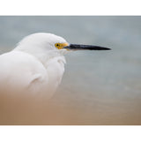 Photograph of Snowy Egret by Jackie Bailey Labovitz at Cottage Curator