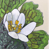 Detail of painted Bloodroot flower and leaves by Frances Coates