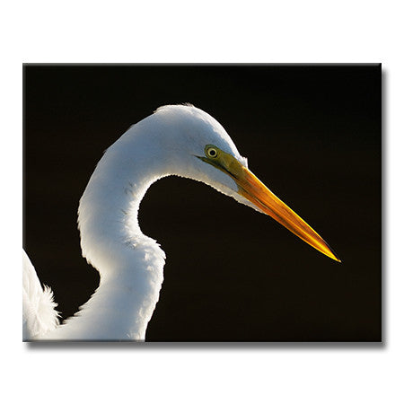 Great Egret (Backlit)
