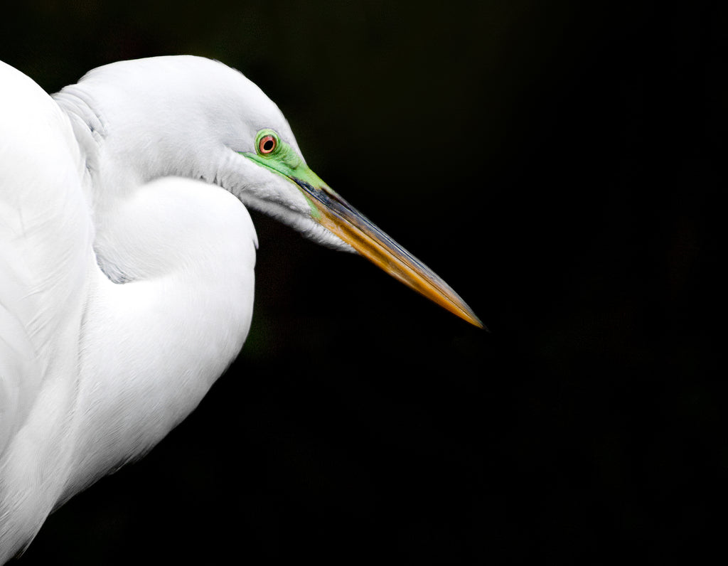 Horizontal photograph of Great Egret against black background by Jackie Bailey Labovitz