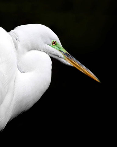Vertical photograph of Great Egret against black background by Jackie Bailey Labovitz