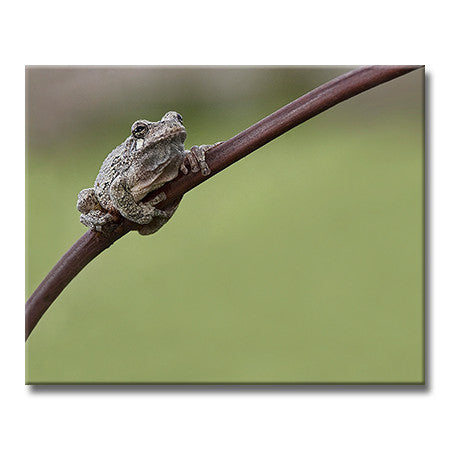 Gray Tree Frog (Horizontal)