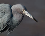Horizontal photograph of blue heron against a gray background by Jackie Bailey Labovitz