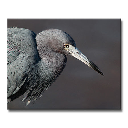 Little Blue Heron (Horizontal)