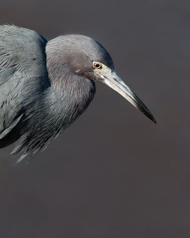 Vertical photograph of blue heron against a gray background by Jackie Bailey Labovitz