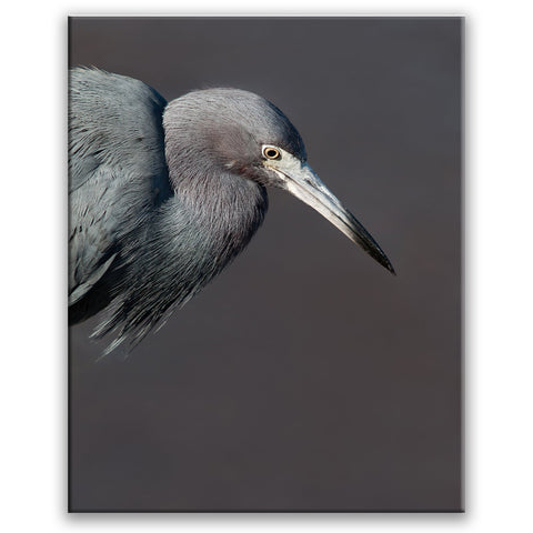 Little Blue Heron (Vertical)