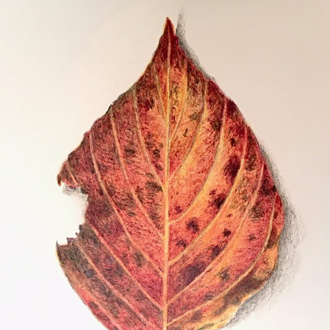 Detail of drawing of an orange and red autumn leaf by Vicki Malone at Cottage Curator art gallery