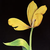 Detail of gouache painting of yellow tulip with stem on a black background by artist Vicki Malone at Cottage Curator art gallery