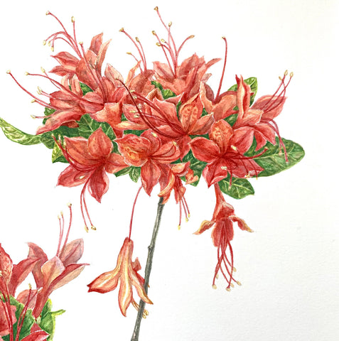 Detail of Painting of two clusters of red Cumberland Azalea in watercolor by Elena Maza at Cottage Curator - Sperryville VA Art Gallery