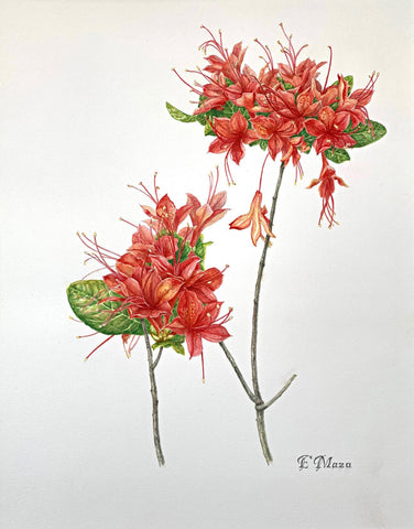 Painting of two clusters of red Cumberland Azalea in watercolor by Elena Maza at Cottage Curator - Sperryville VA Art Gallery