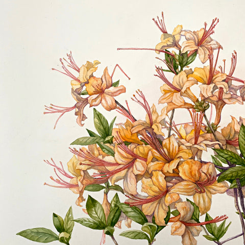 Detail of water color and pencil on paper of pink and orange flame azaleas by Elena Maza at Cottage Curator - Sperryville VA Art Gallery