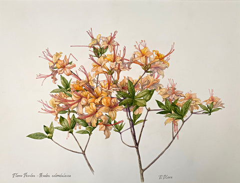 Water color and pencil on paper of pink and orange flame azaleas by Elena Maza at Cottage Curator - Sperryville VA Art Gallery