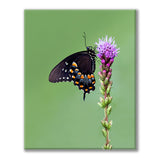 Photograph of spicebush swallowtail butterfly on a flowering plant against a green background by Jackie Bailey Labovitz at Cottage Curator