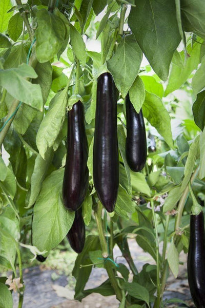 Long Black Purple Eggplant (20 Seeds)