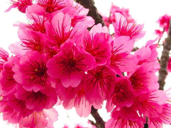 Japanese Dark Pink Sakura (5 Seeds)