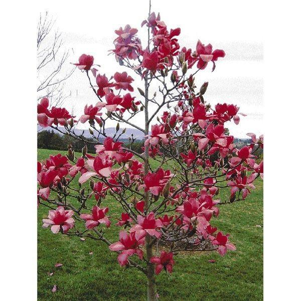 Red Magnolia (5 Seeds)