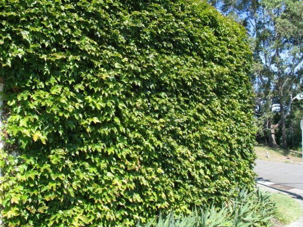 Green Boston Ivy (40 Seeds)