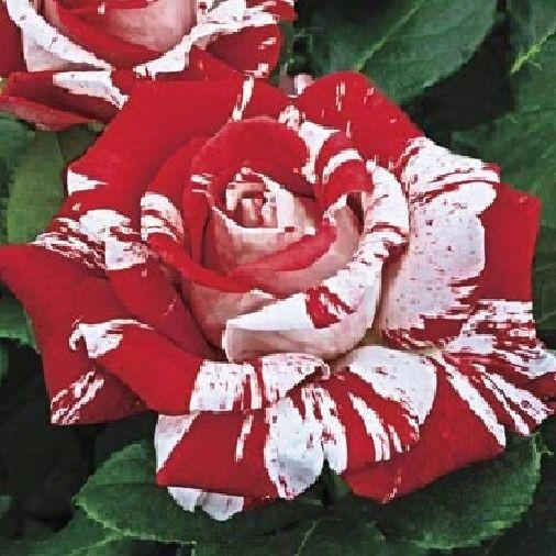 Red White Stripe Dragon Rose (10 Seeds)
