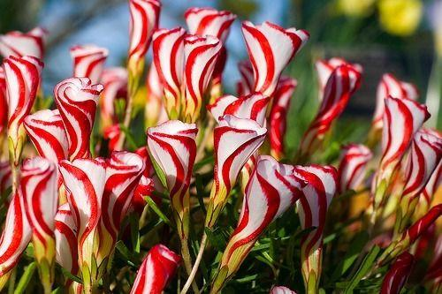 Candy Cane Sorrel (10 seeds)