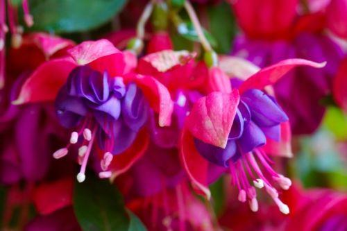 Red Purple Fuchsia (10 Seeds)