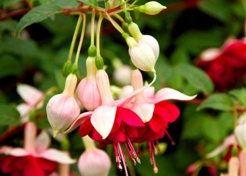 White Red Fuchsia (10 Seeds)