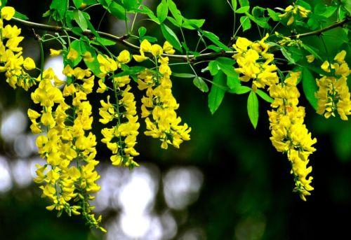 Yellow Wisteria (5 Seeds)