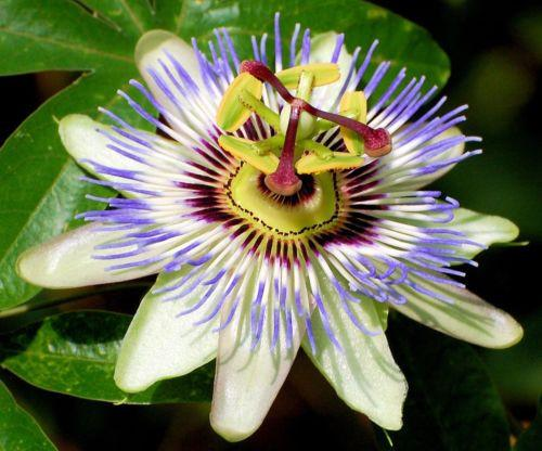 Blue Passion Osaka Flower (10 Seeds)