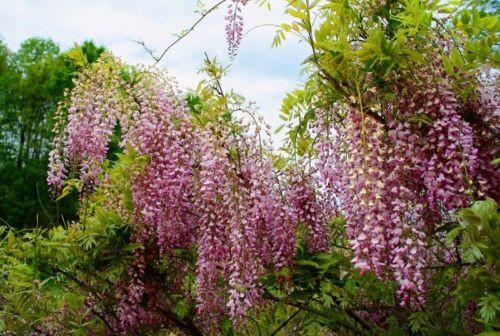 Pink Wisteria Tree (5 seeds)