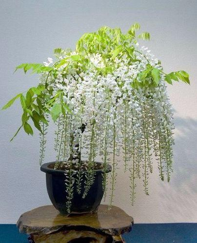 White Wisteria (5 Seeds)