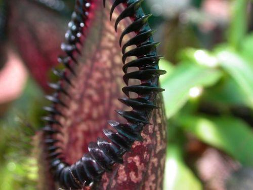 Purple Pitcher Plant (10 Seeds)