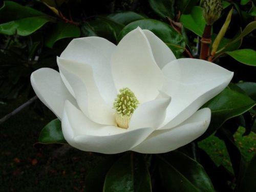 White Magnolia (5 Seeds)