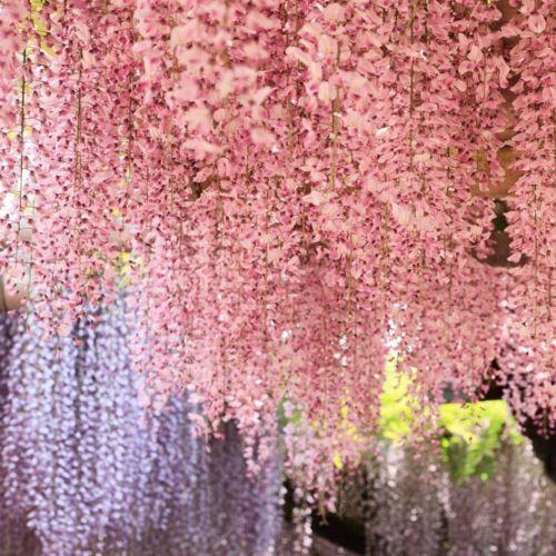 Pink Wisteria Tree 5 Seeds Emerta