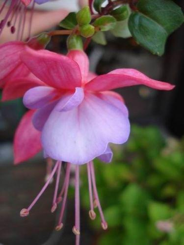 Purple Pink Fuchsia (10 Seeds)